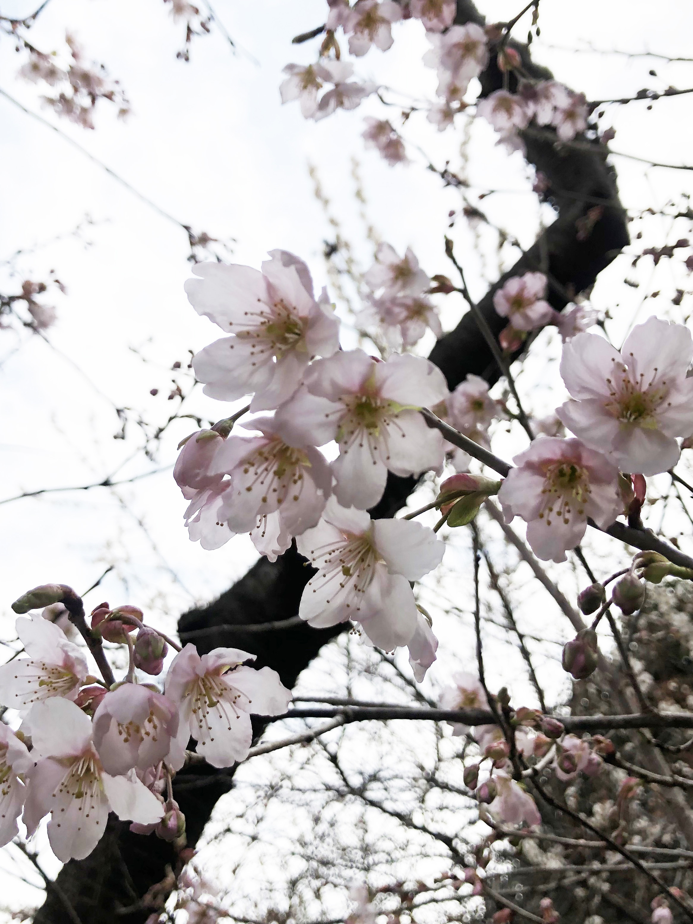 21_03寒桜03