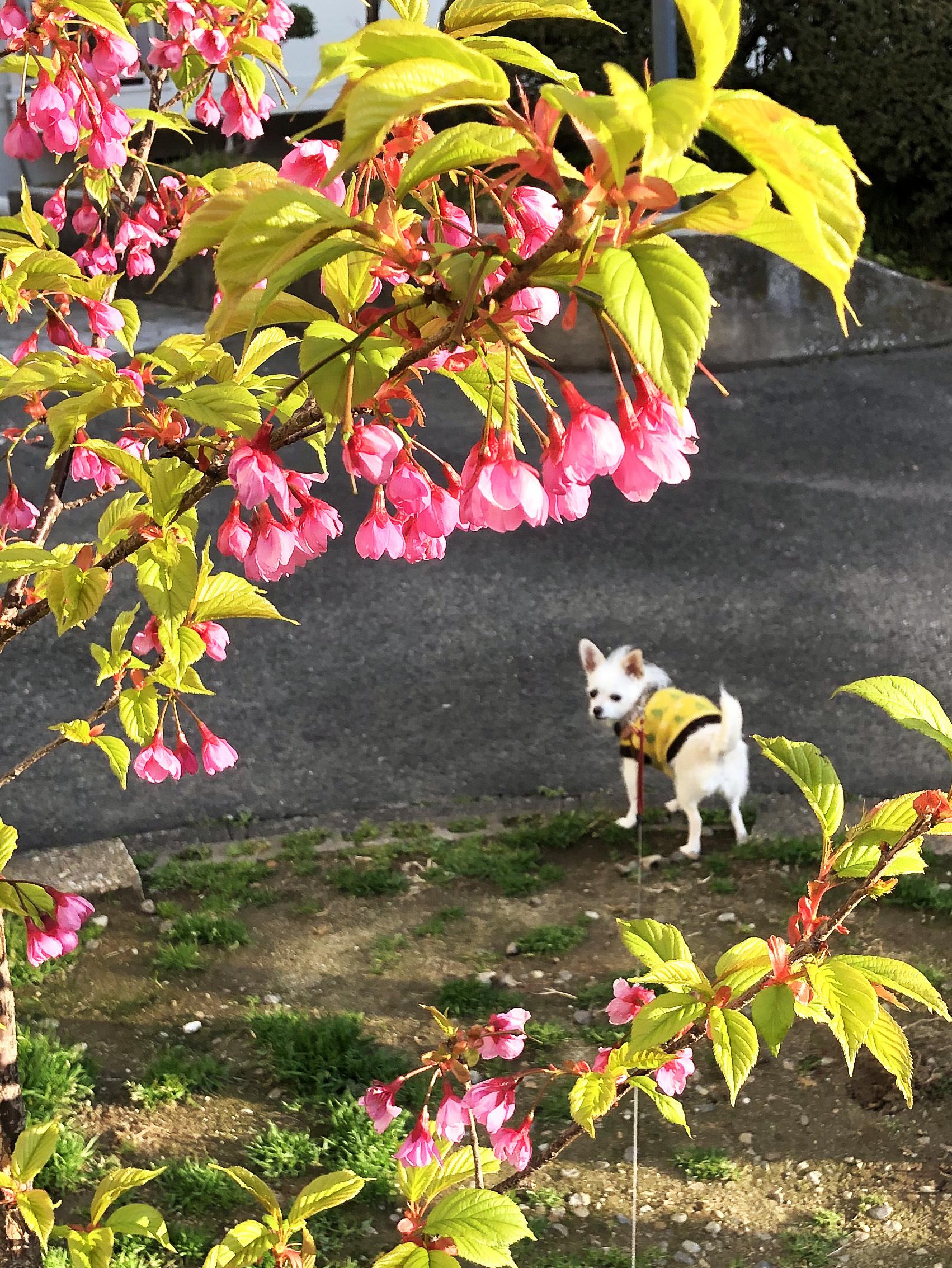 21_03桜とこゆ01