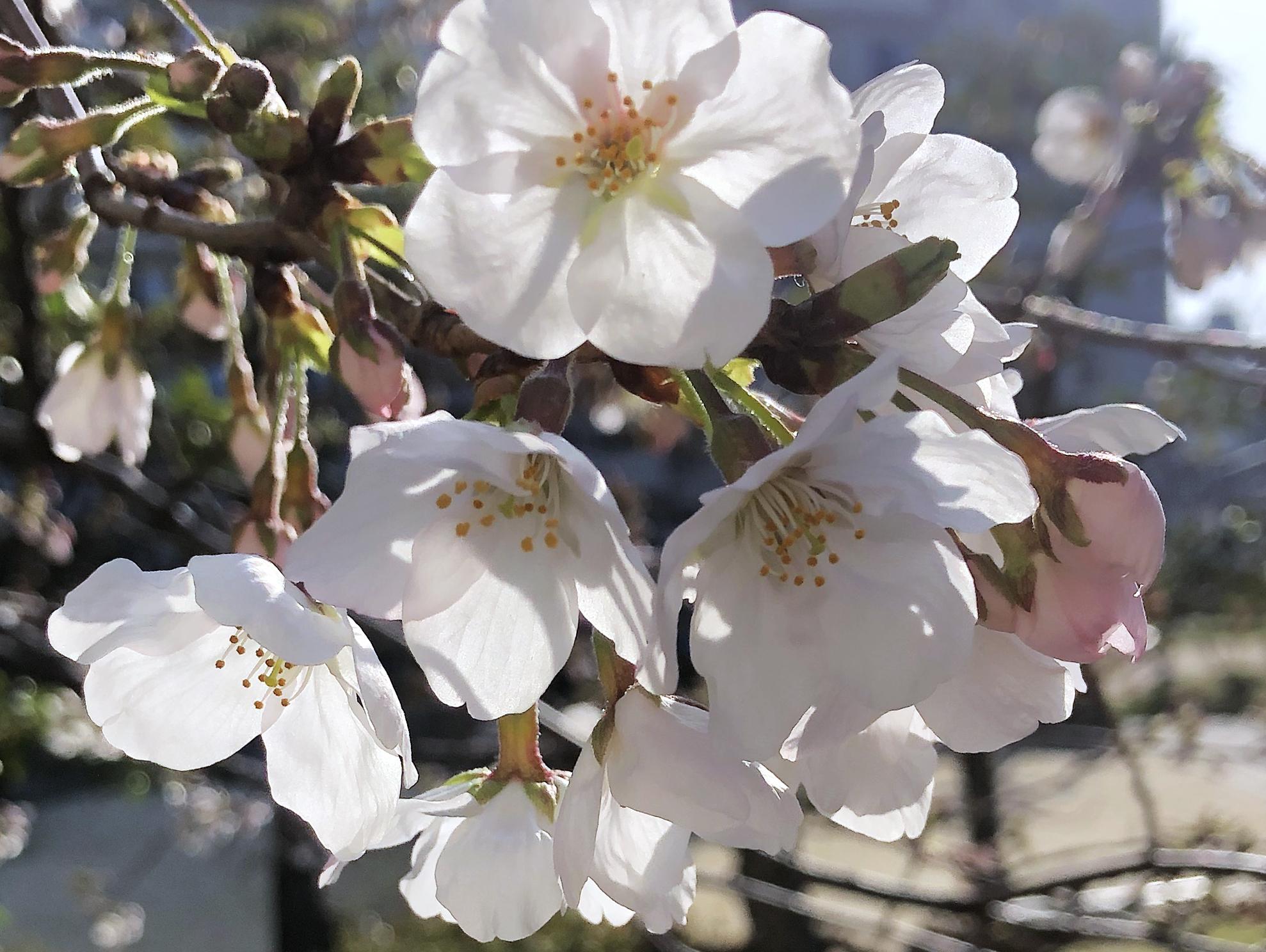 21_03朝の桜01