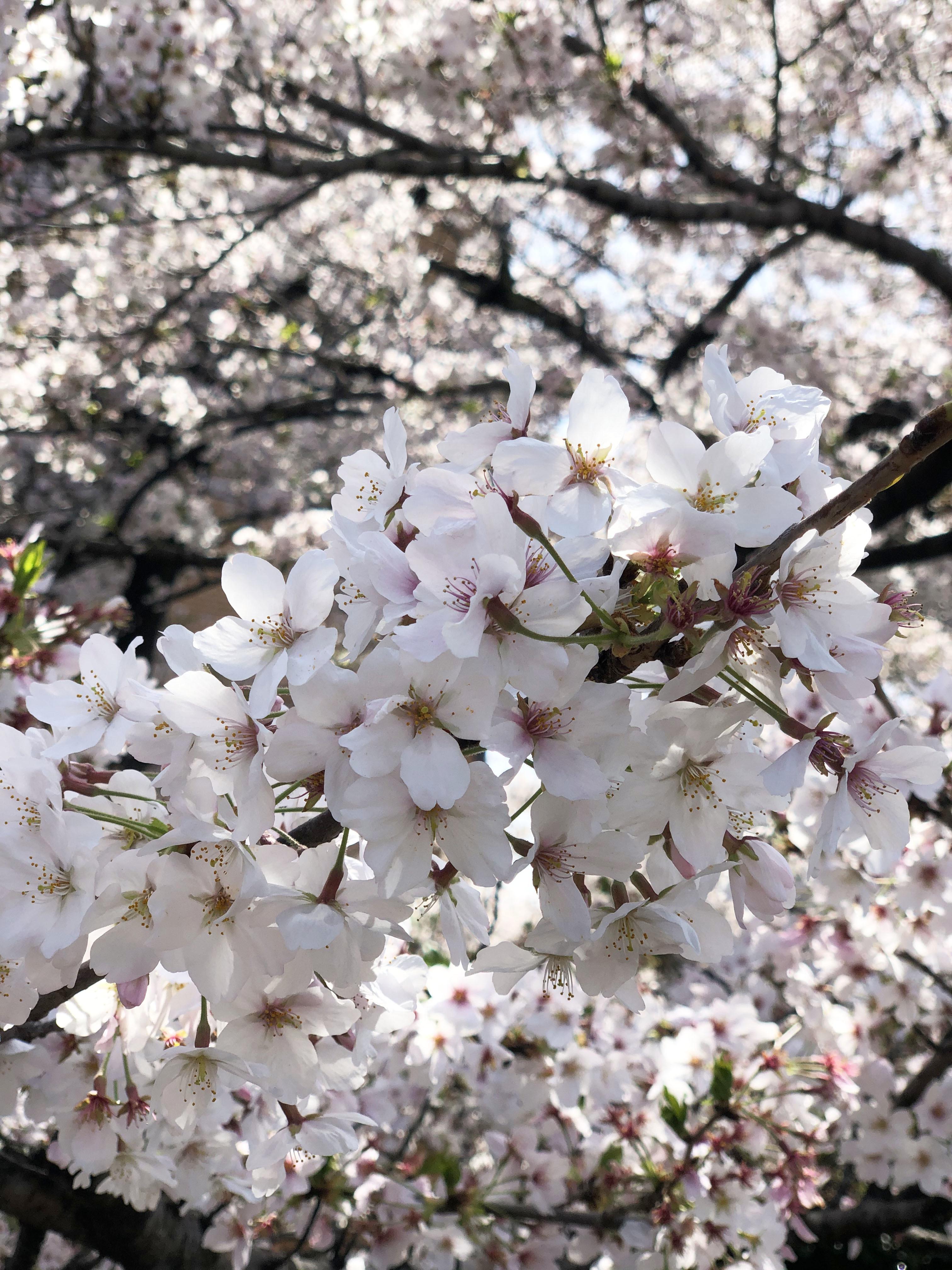 21_03ご近所桜01