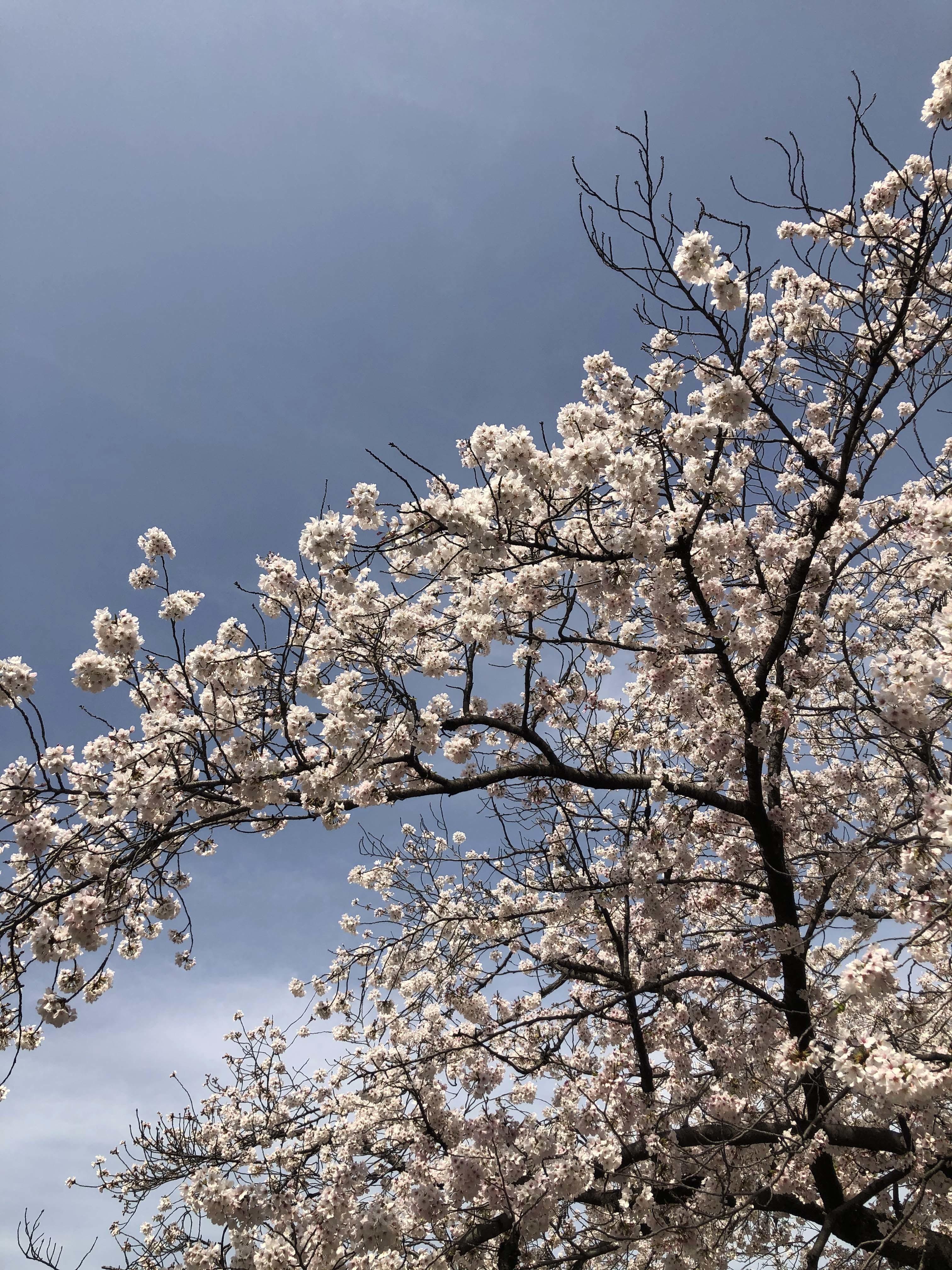 21_03ご近所桜02