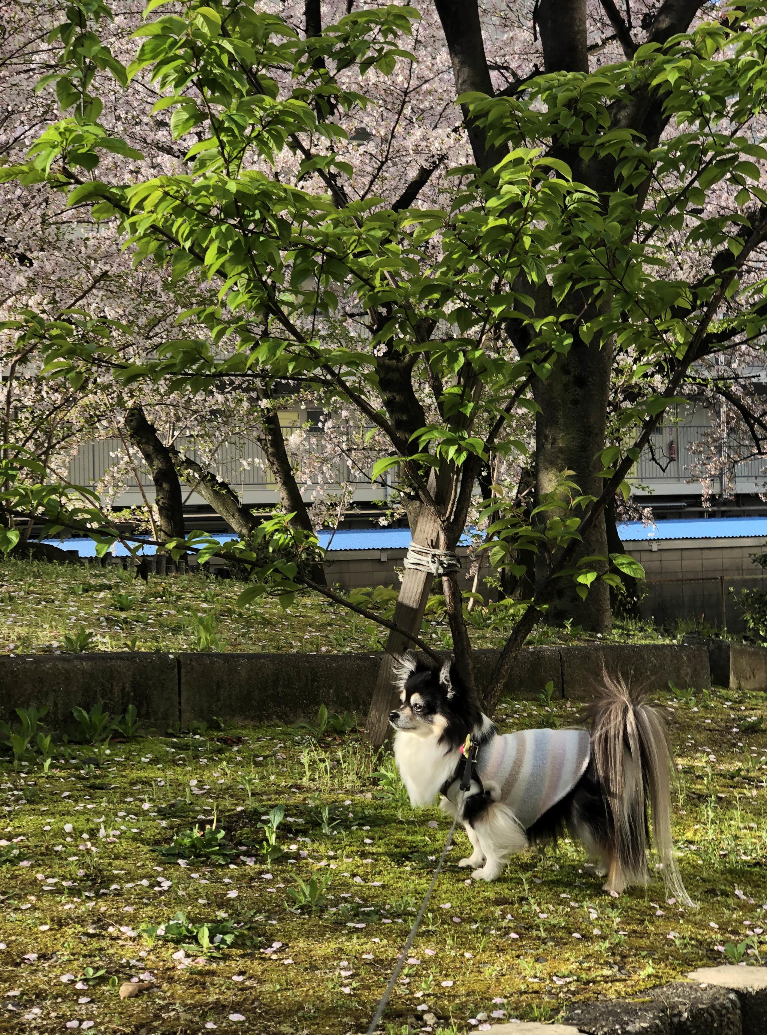 21_03来週は葉桜01