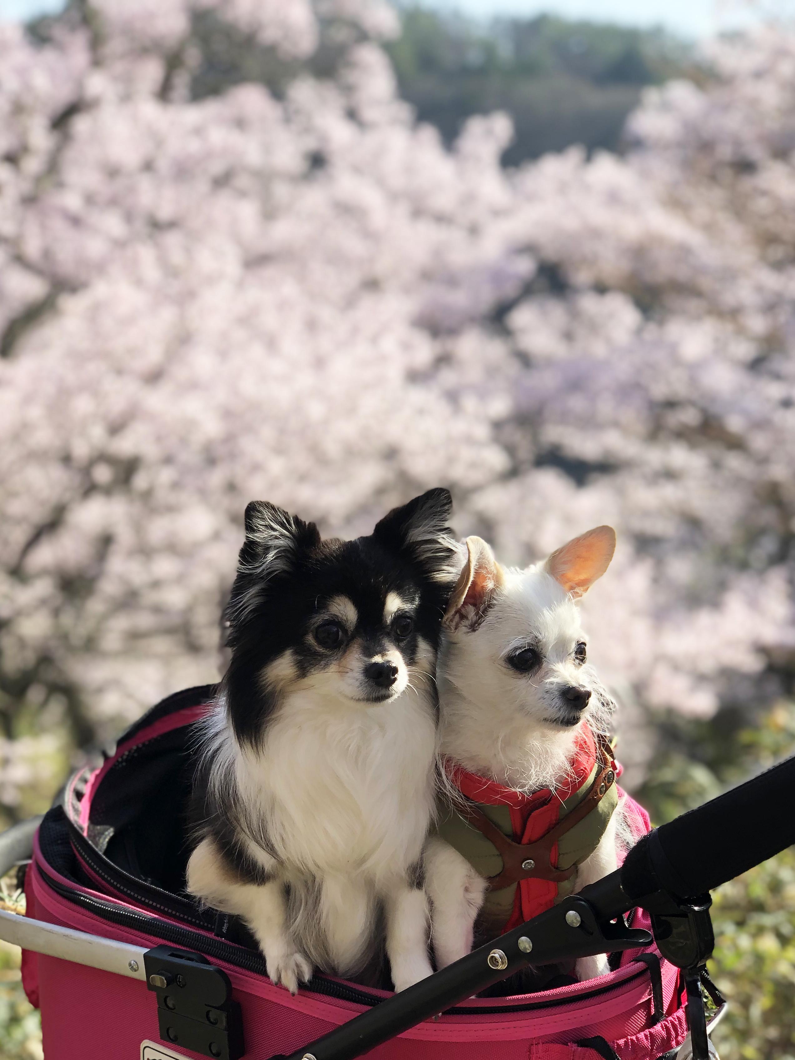 21_04桜と姉妹01