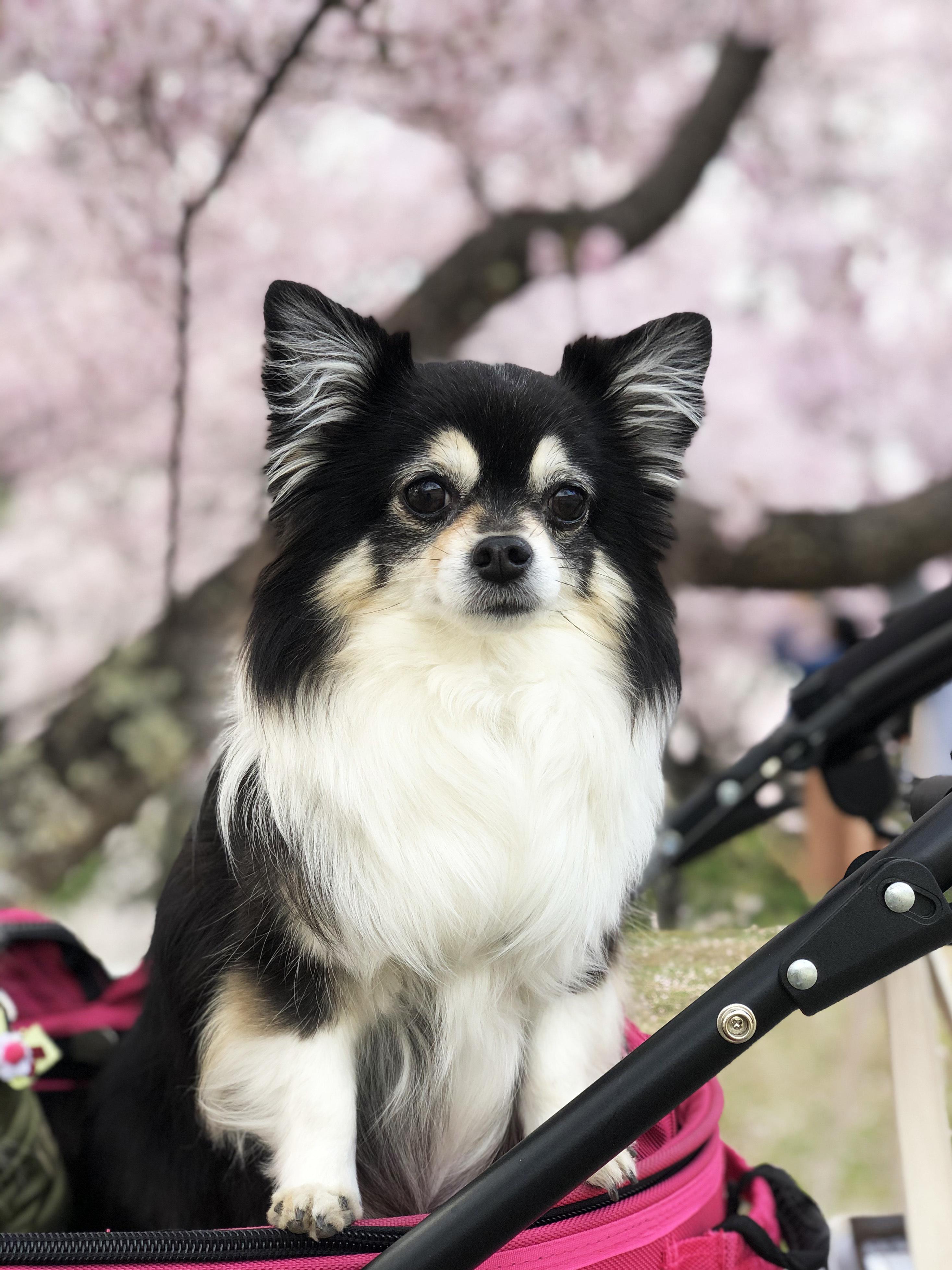 21_04桜とあん01