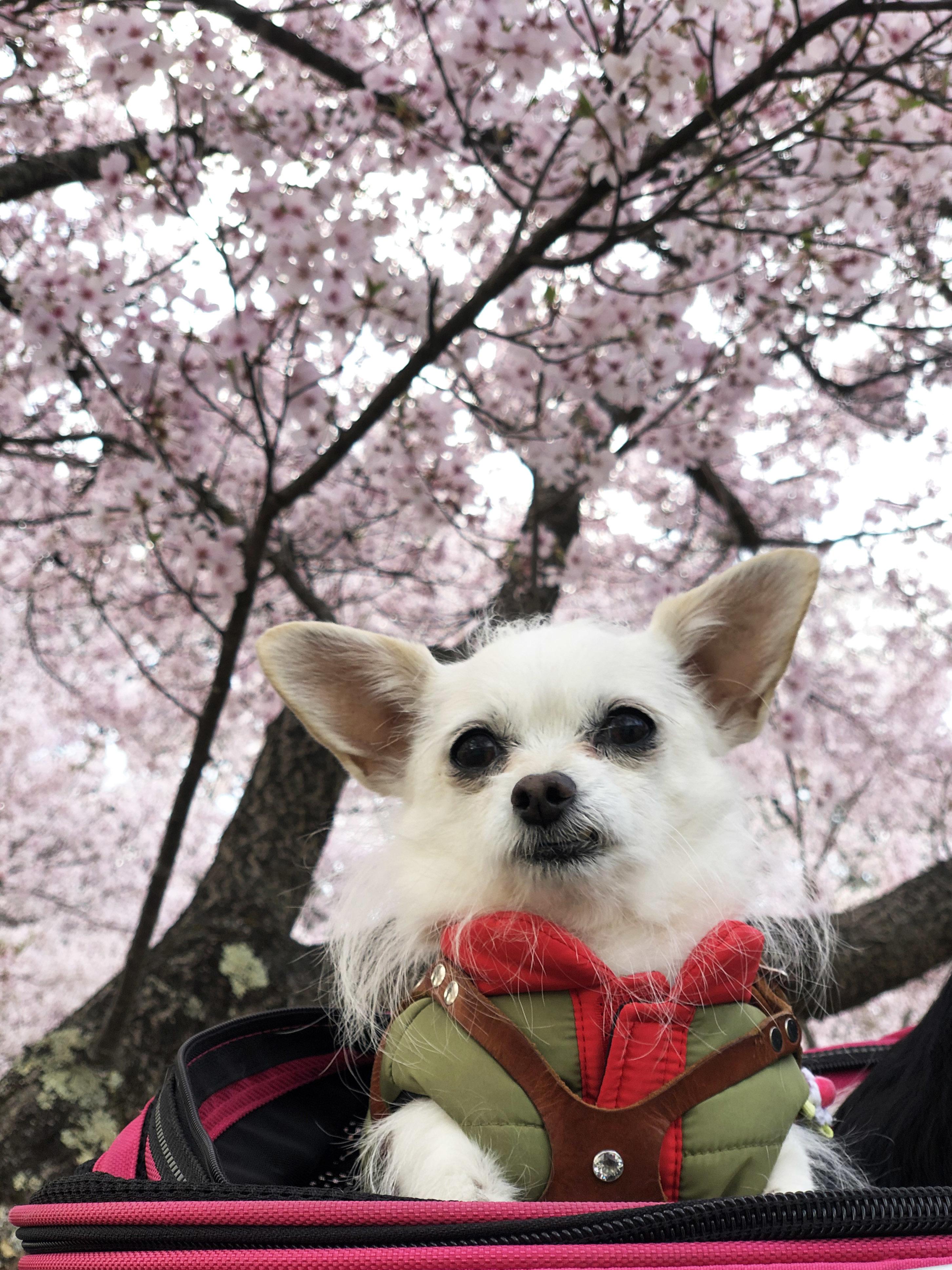 21_04桜とこゆ01