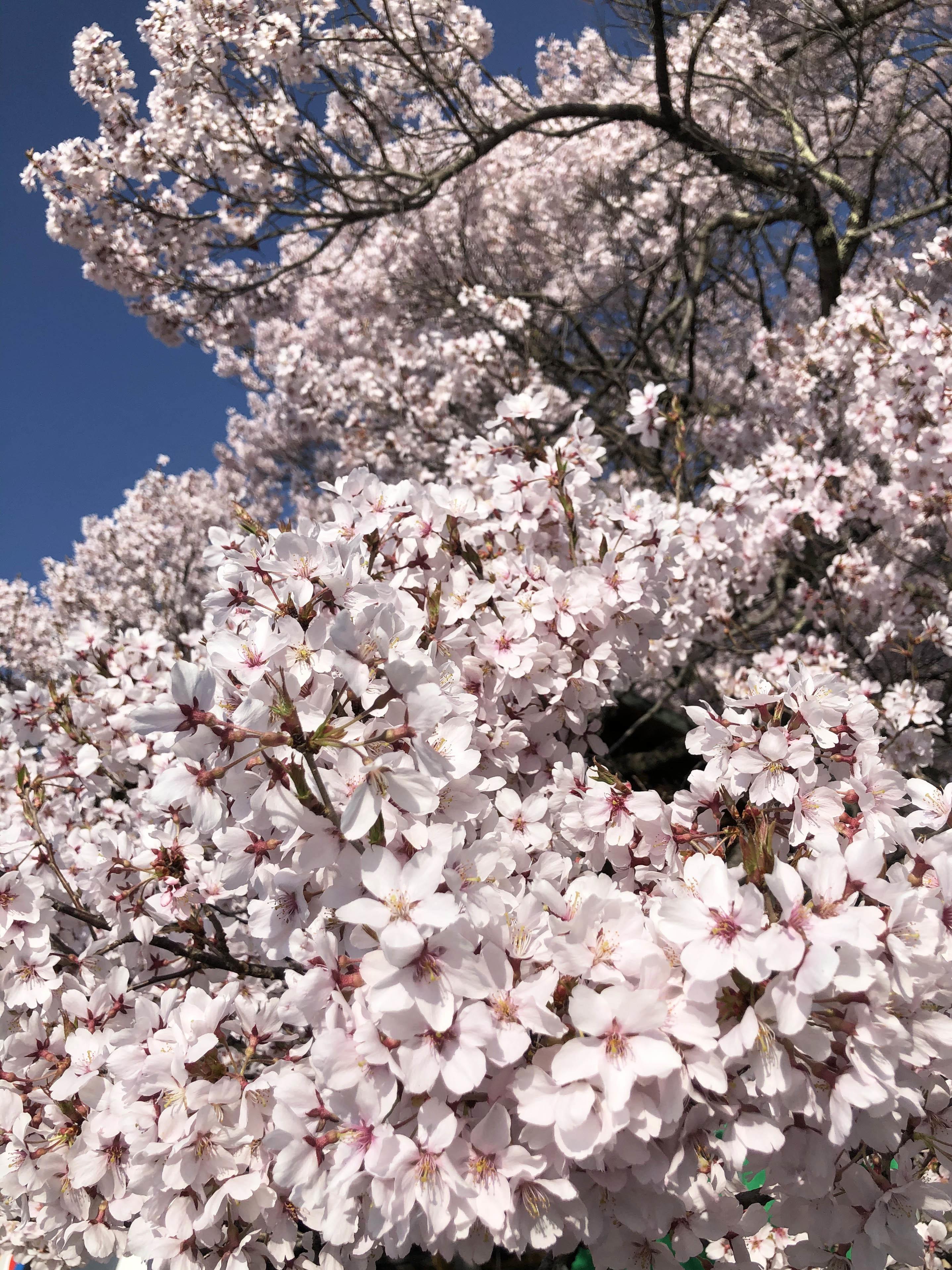 21_04桜と姉妹02