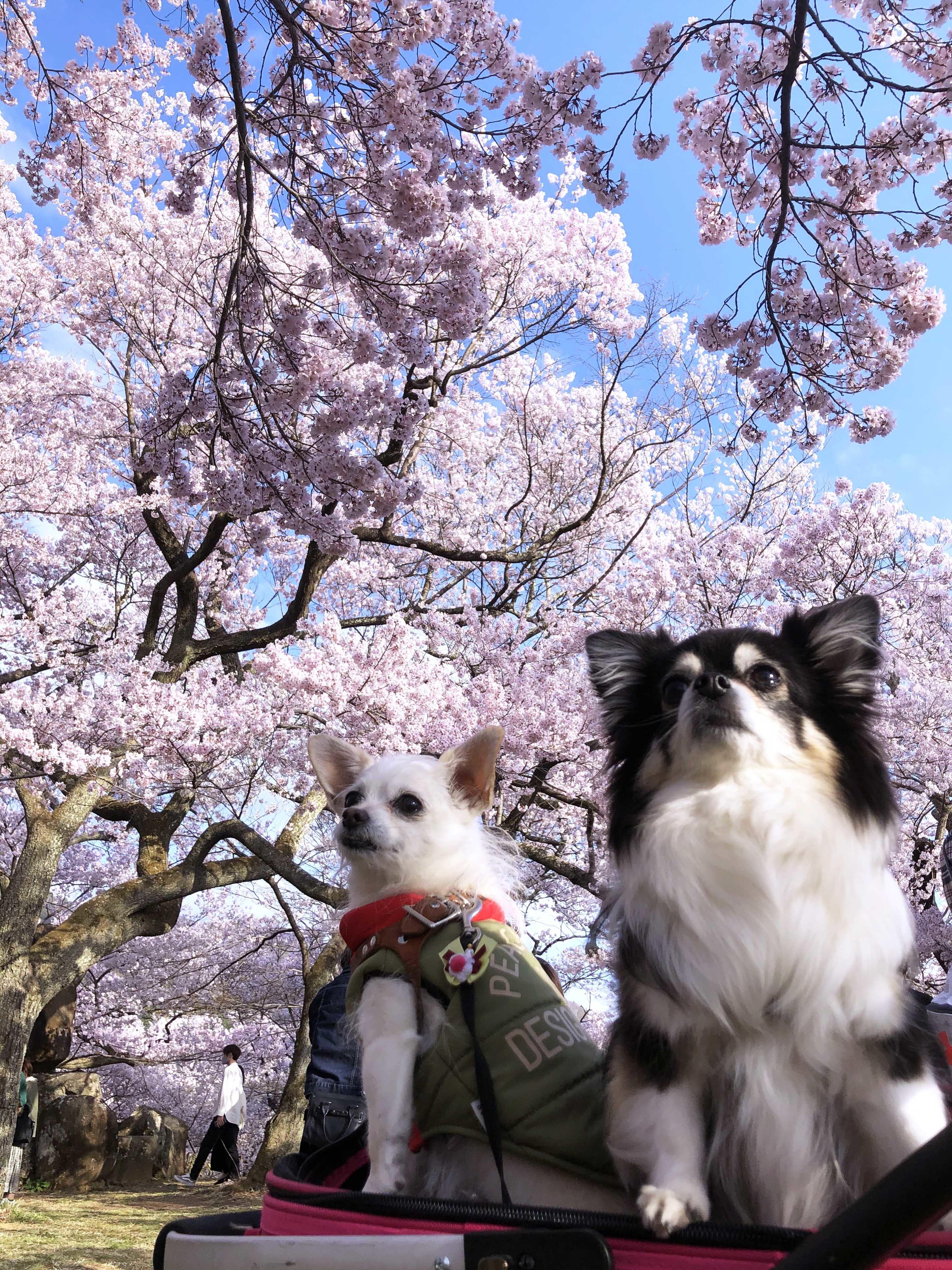 21_04桜と姉妹03
