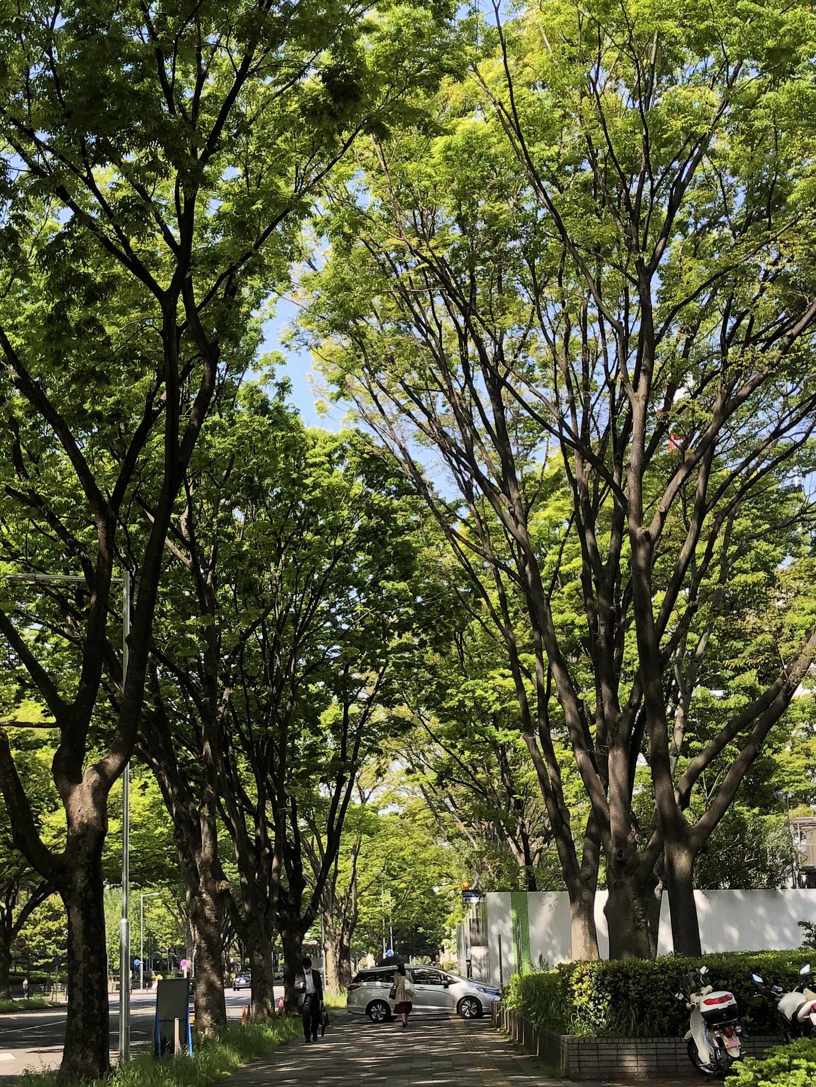 21_04新緑の街路樹01