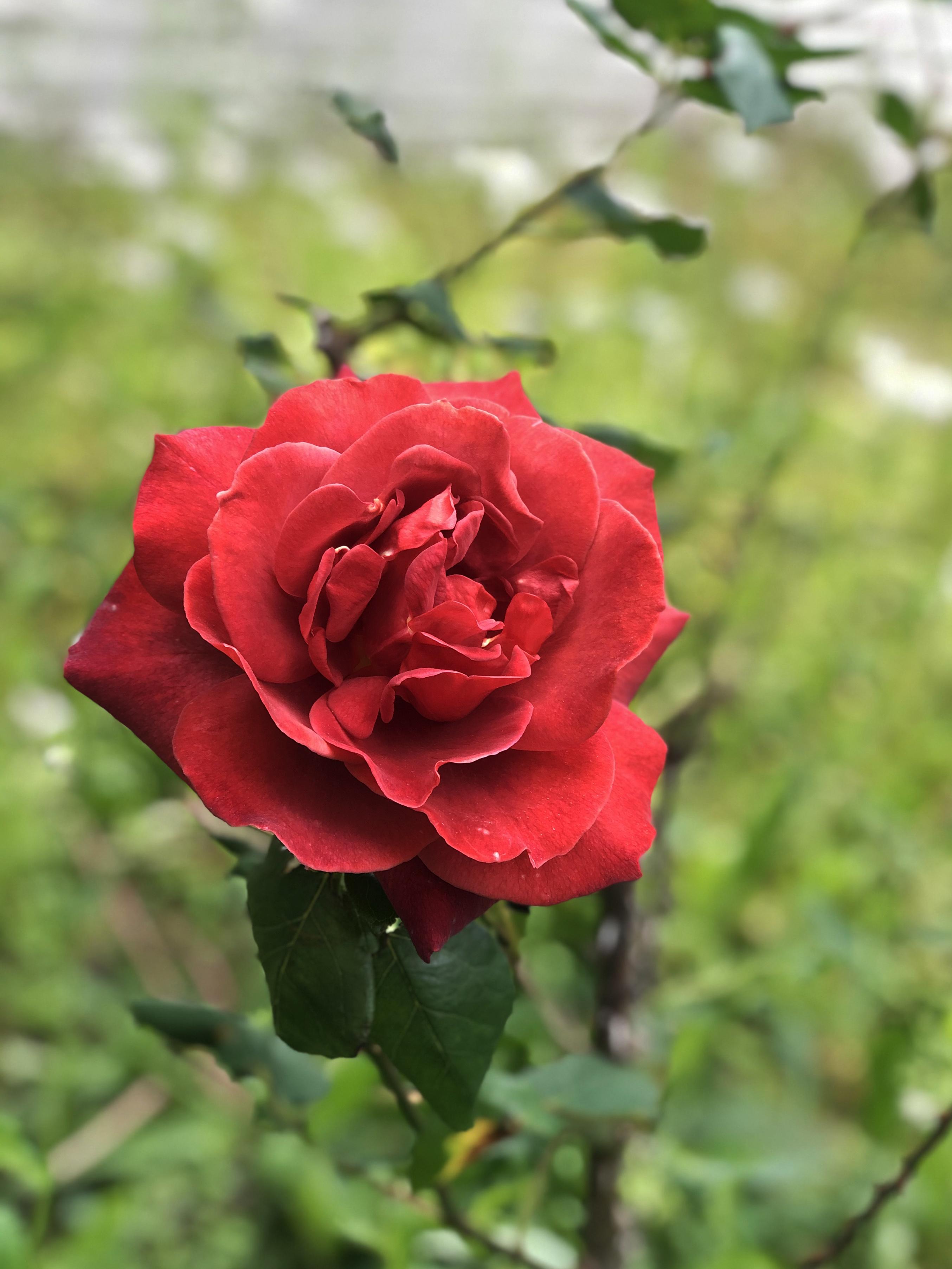 21_05ご近所のバラ01