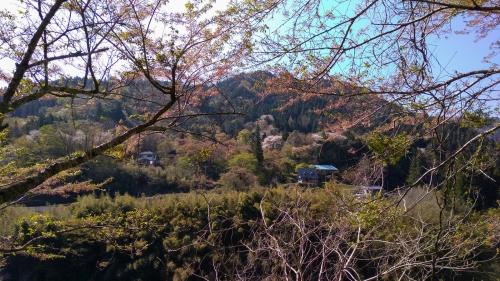 奥矢作の山桜