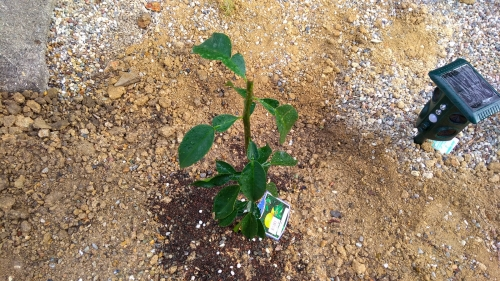 柚子の苗木を庭に植えてみた