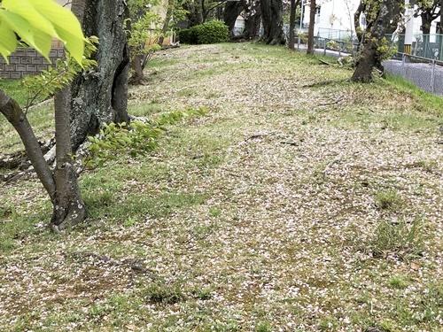 桜散歩28