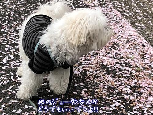 桜散歩29