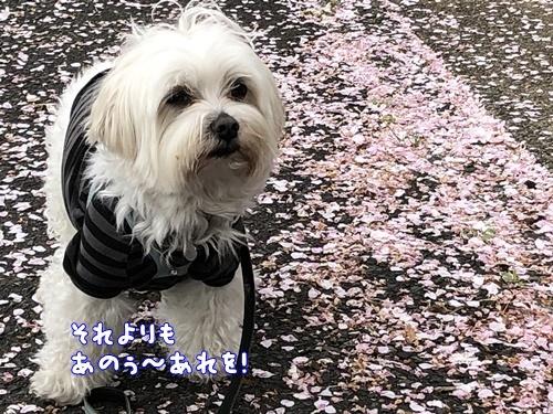 桜散歩30