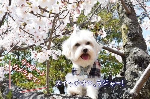 2020sakura1_202004051504078a0.jpg