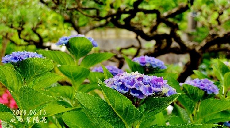 DSC_5244 - 庭の紫陽花①表紙