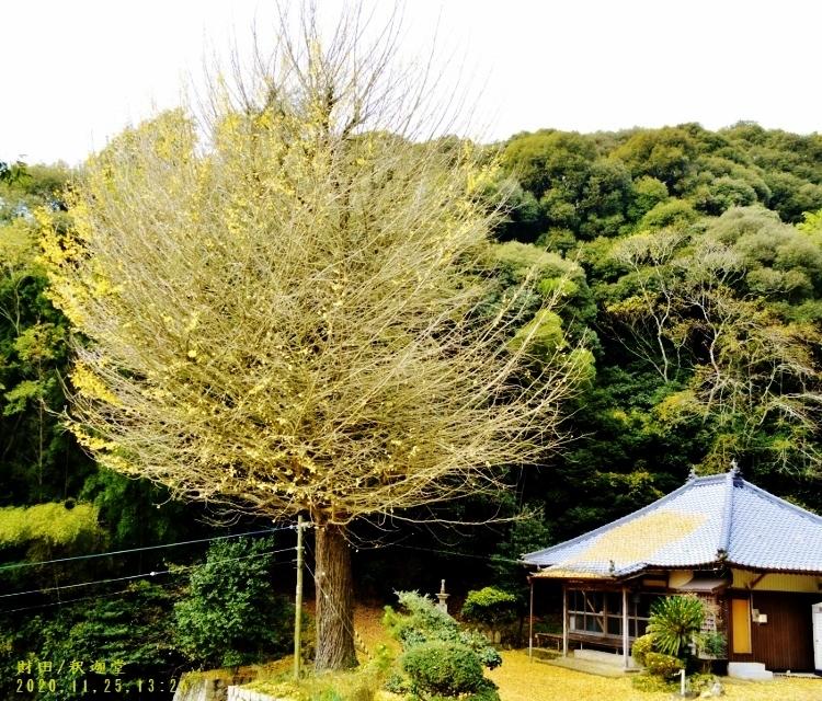 _DSC0055★財田・釈迦堂の銀杏 (750x640)