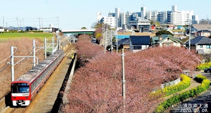 2021-02-09 023三浦海岸河津桜 (700x376) (2)