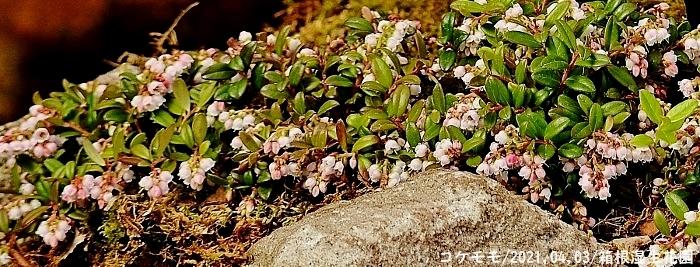 2021-04-03 177 - コケモモコピー - コピー (700x267)