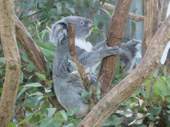 お食事中のコアラ
