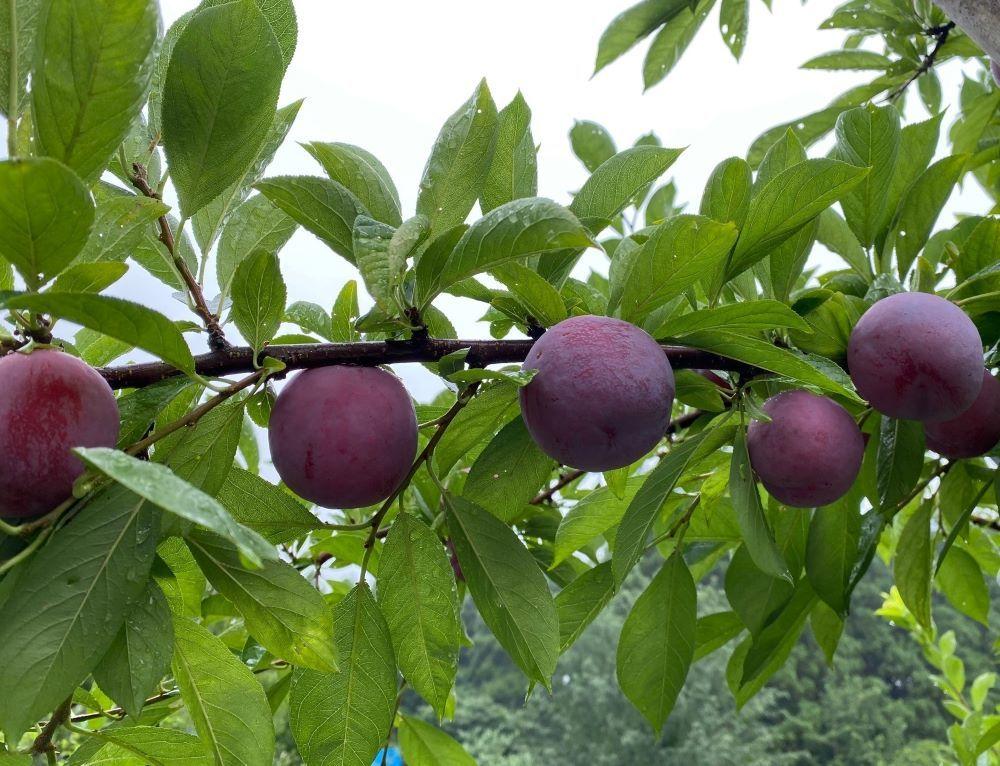 旬のおいしい果実「すもも」
