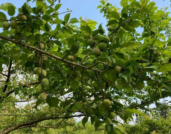 生育中の果実「梅」