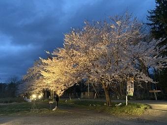 桜の回廊 ライトアップ始まっています...