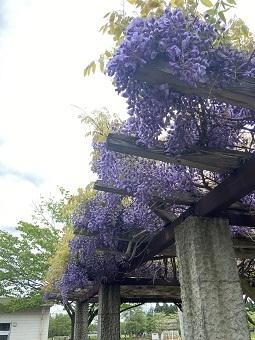 藤棚も花盛り