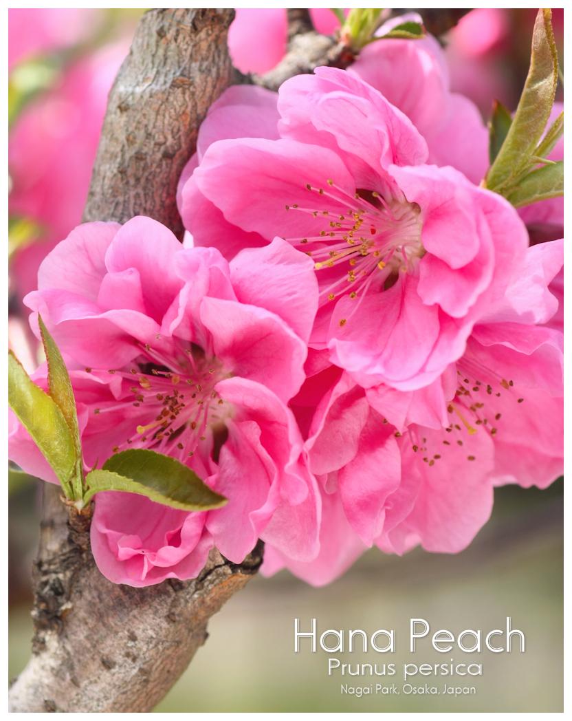 ハナモモ 花桃