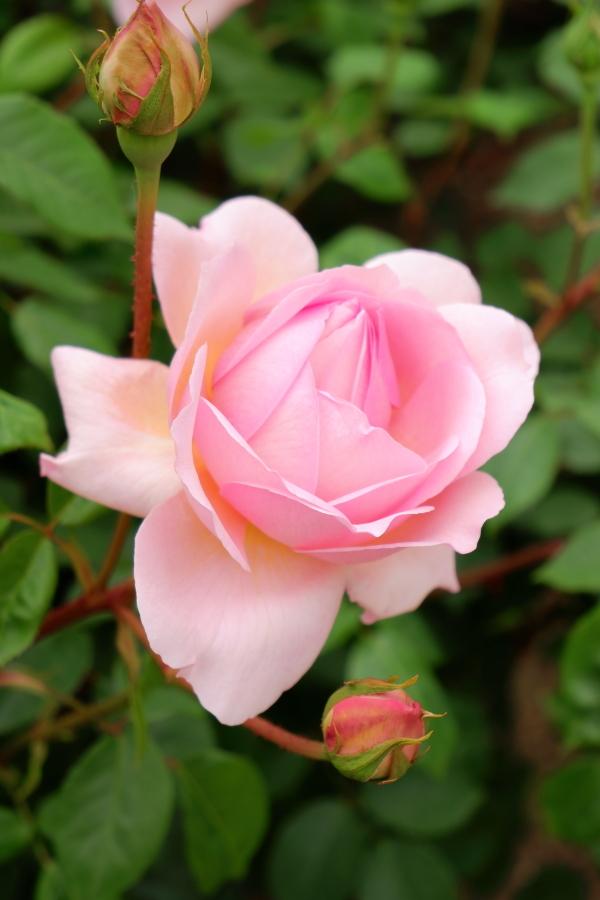 Rosa Sonia Rykiel