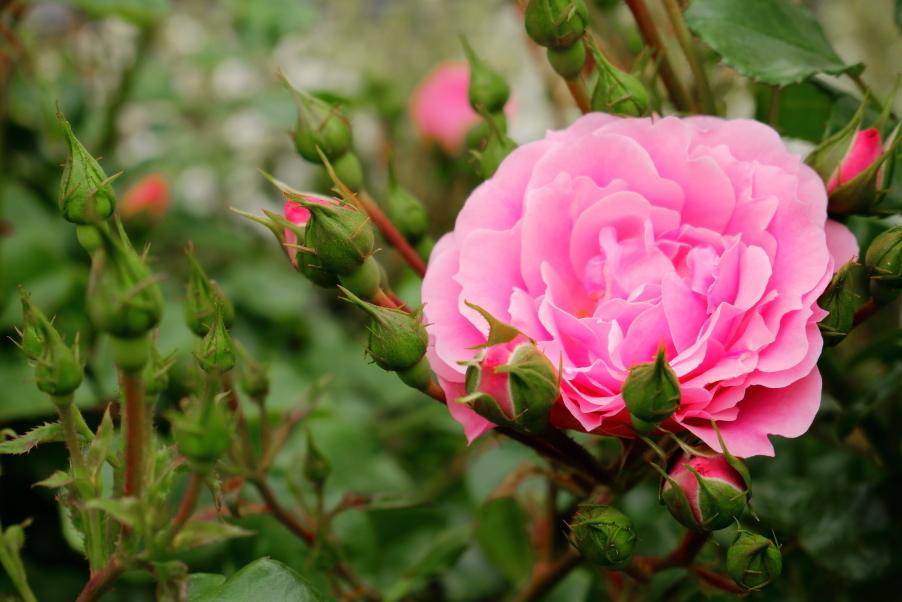 Rosa Royal bonica