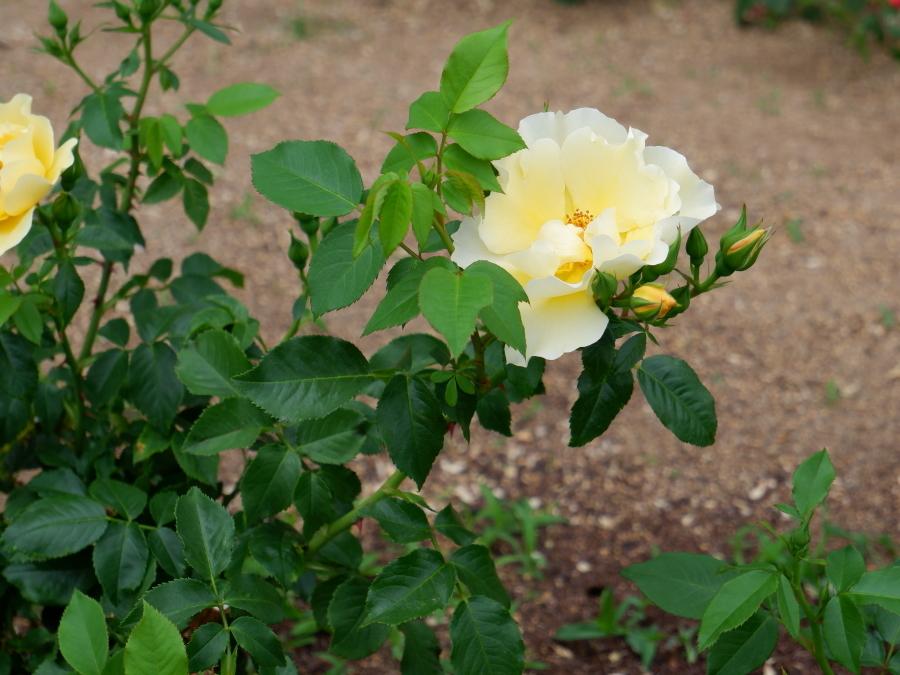 Rosa 'Kinrenpo'