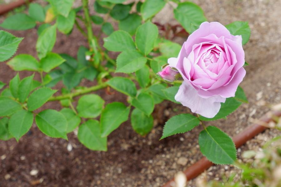 Rosa'Shinoburedo'