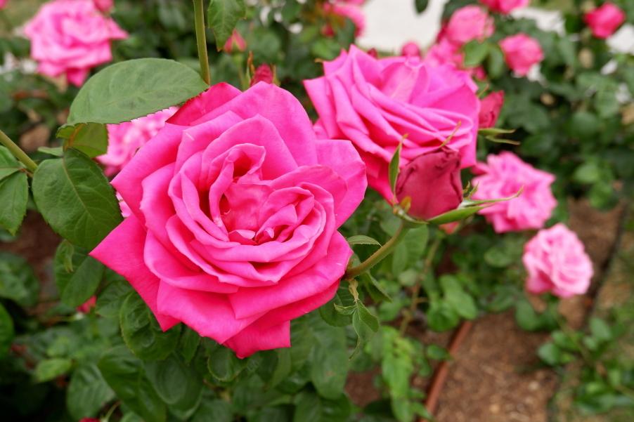 Rosa Maria Callas
