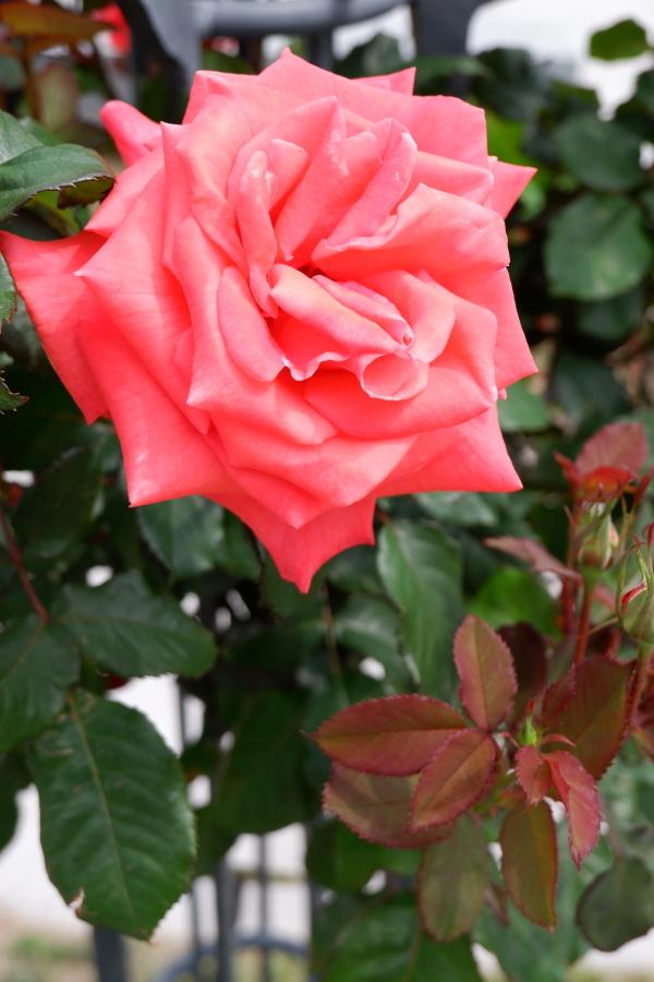 Rosa Lady Rose