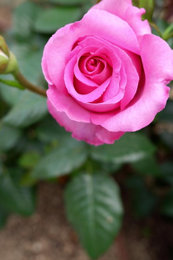 Rosa Chartreuse de Parme
