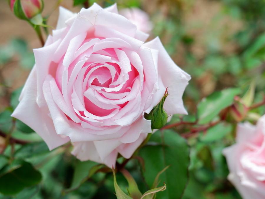 Rosa Mme. Léon Pain