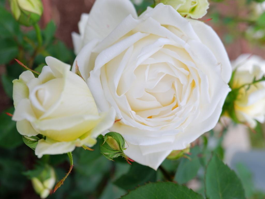 Rosa Mrs. Charles Lamplough
