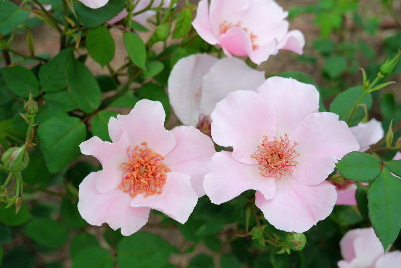 Rosa Dainty Bess