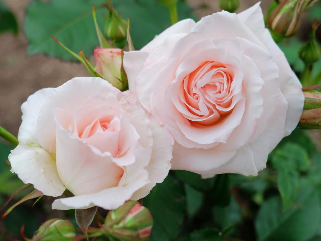 Rosa Bridal Pink