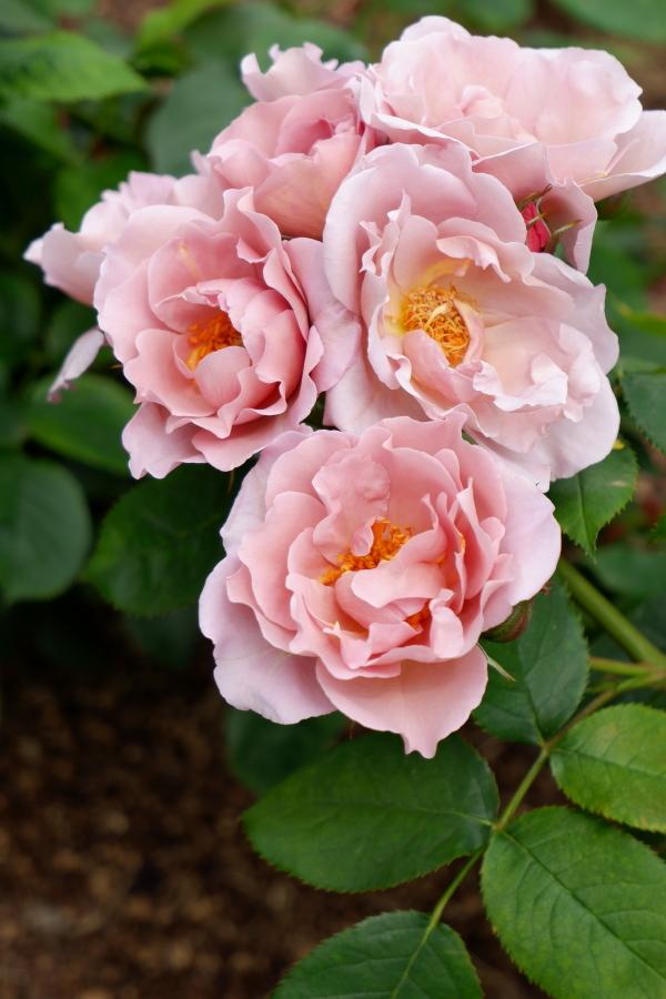 Rosa Lavender Pinocchio