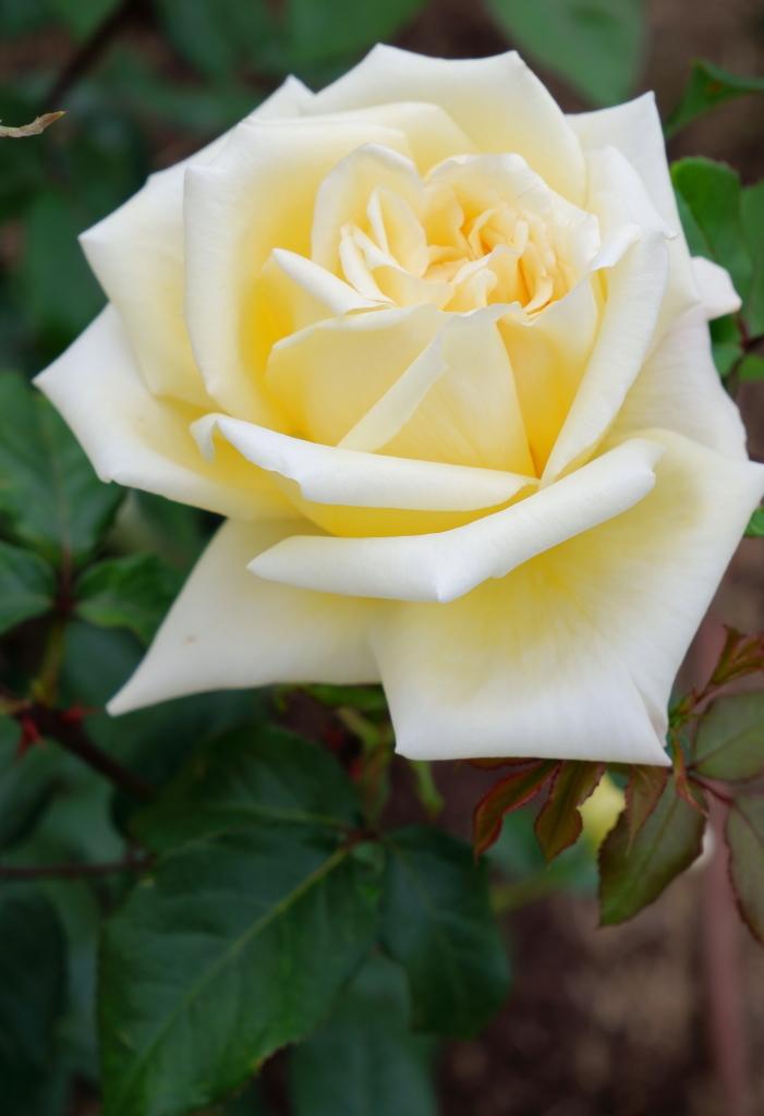 Rosa McGredy's Yellow