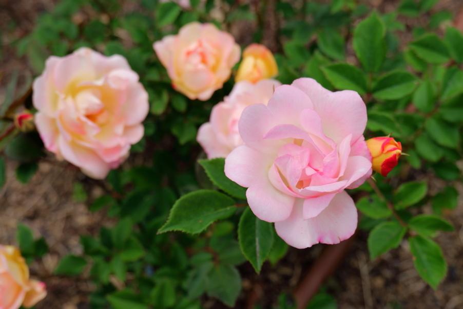 Rosa Baby Betty