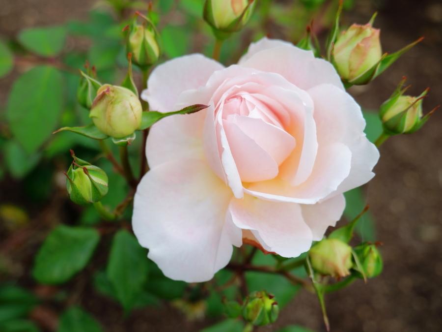 Rosa Pink Grüss an Aachen