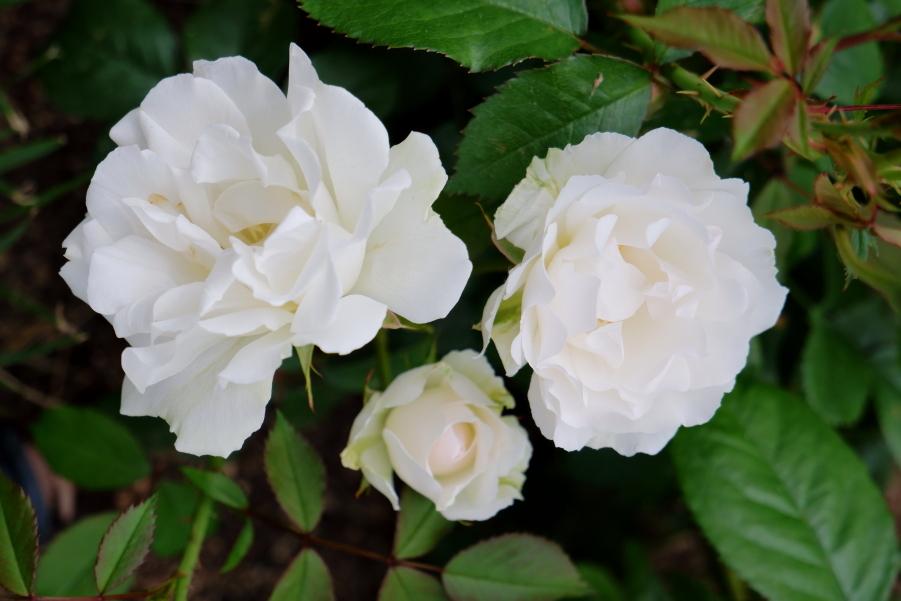 Rosa Lafayette