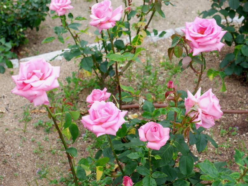 Rosa Princess Margaret of England