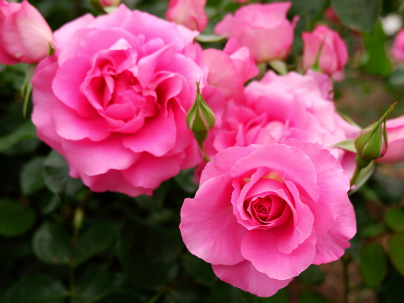 Rosa'Urara'