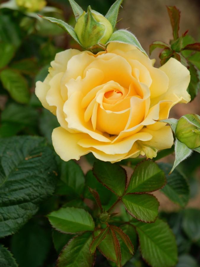 Rosa Amber Queen