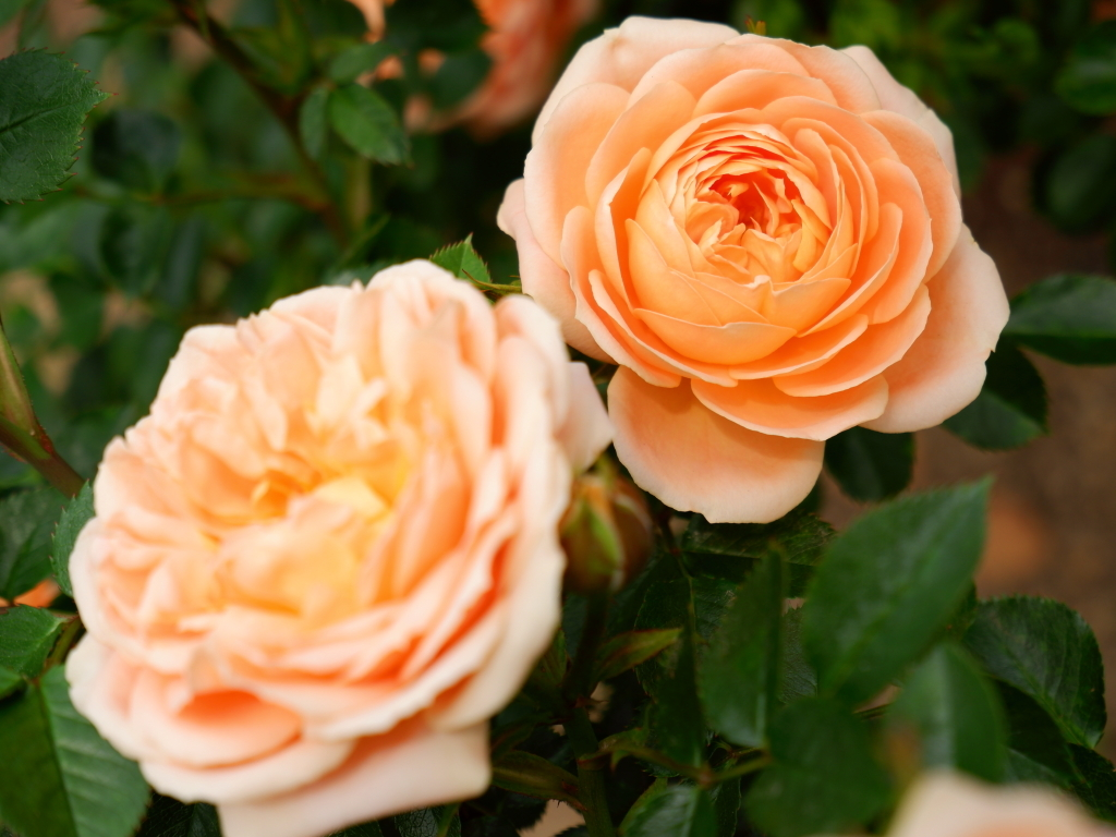 Rosa Sweet Dream
