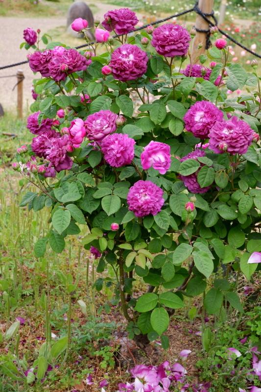 Rosa Rose-Marie Viaud